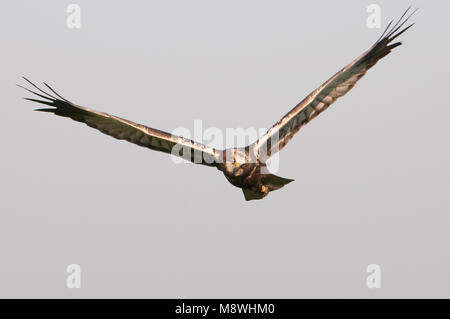Vrouwtje Bruine Kiekendief in vlucht, Female Marsh Harrier in flight - Stock Photo