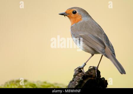 Geringde Roodborst; Ringed European Robin - Stock Photo