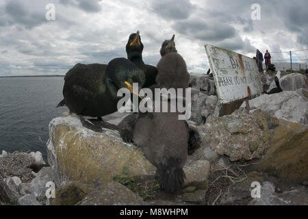 Kuifaalscholvers op het nest; European Shags on the nest - Stock Photo