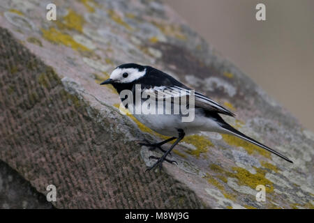 Pied Wagtail zittend op steen; Pied Wagtail perched on stone - Stock Photo