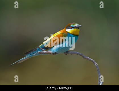 Bijeneter zittend; European Bee-eater perched - Stock Photo