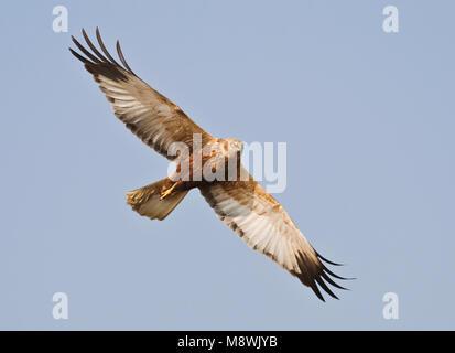 Mannetje Bruine Kiekendief vliegend; Male Marsh Harrier flying - Stock Photo