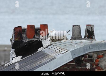 Zilvermeeuw broedend op dak, Herring Gull breeding on roof - Stock Photo