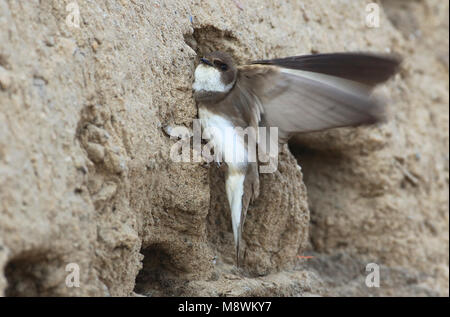 Oeverzwaluw zittend voor nest ingang; Sandmartin sitting in front of nest - Stock Photo