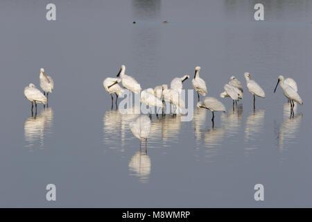 Groep Lepelaars in water; Group of Eurasian Spoonbills standing in water - Stock Photo