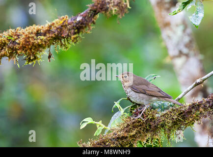 Overwinterende Dwerglijster in Ecuador; Wintering Swainson's Thrush (Catharus ustulatus) in Ecuador - Stock Photo