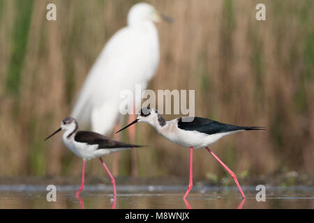 Steltkluten lopend in water met Grote Zilverreiger op achtergrond; Black-winged Stilts walking in water with Great - Stock Photo