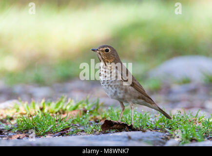 Overwinterende Dwerglijster in Ecuador; Wintering Swainson's Thrush (Catharus ustulatus) in Ecuador - Stock Photo