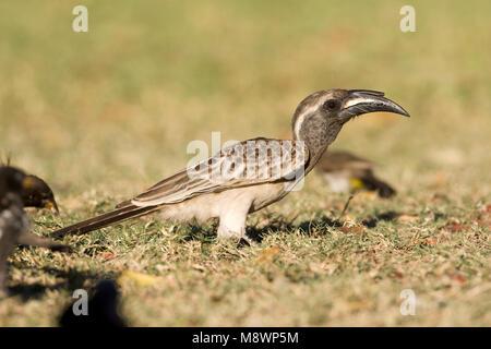 Grijze Tok, African Grey Hornbill, Tockus nasutus - Stock Photo