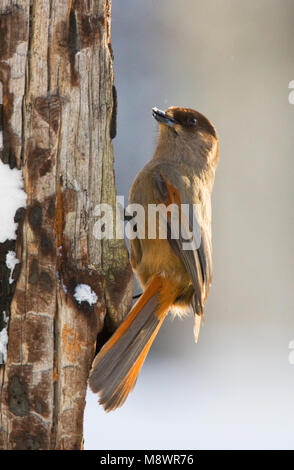 Taigagaai, Siberian Jay - Stock Photo