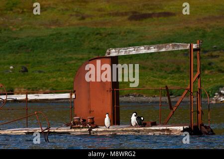 Zuid-Georgische Aalscholver zittend op vergaand schip in Grytviken haven; South Georgia Shag resting on wrecked - Stock Photo
