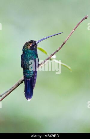 Witsnorheremietkolibrie; White-whiskered Hermit - Stock Photo