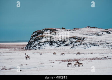 Icelandic reindeers grazing near the Glacier Lagoon in south east Iceland in its natural winter environment. - Stock Photo