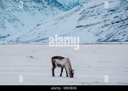 Icelandic reindeer grazing near the Glacier Lagoon in south east Iceland in its natural winter environment. - Stock Photo