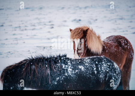 Typical Icelandic hairy horse grazing in snow blizzard. Iceland breed horse in wintertime in hard conditions snowy - Stock Photo