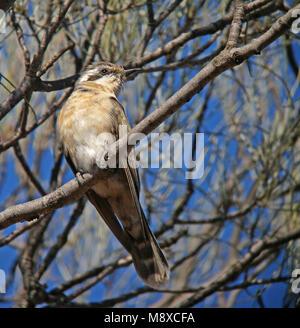 Zwartoorkoekoek zittend in een boom; Black-eared Cuckoo (Chrysococcyx osculans) perched in a tree - Stock Photo