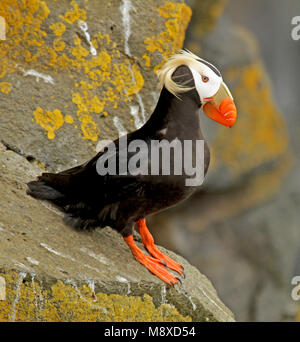 Adulte Kuifpapegaaiduiker op rots, Tufted Puffin adult perched on rock - Stock Photo