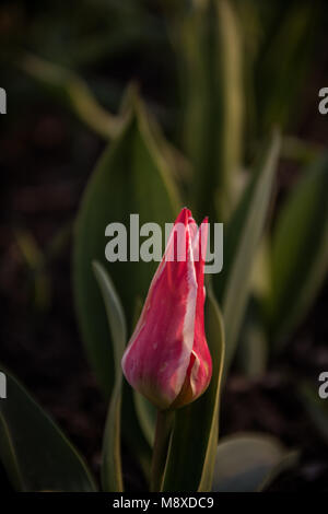 Red tulips in the garden shortly before flowering. Copy space available. - Stock Photo