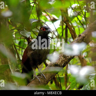 Roodvleugelgrondkoekoek, Rufous-winged Ground Cuckoo, Neomorphus rufipennis - Stock Photo