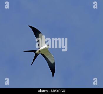 Zwaluwstaartwouw in vlucht; Swallow-tailed Kite (Elanoides forficatus) in flight - Stock Photo
