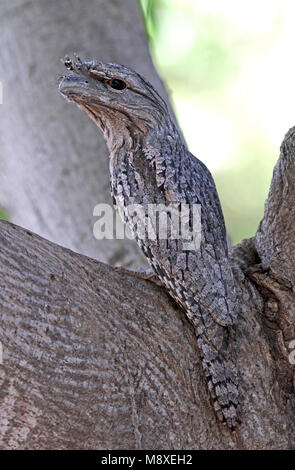 Uilnachtzwaluw zittend in een boom, Tawny Frogmouth perched in a tree - Stock Photo