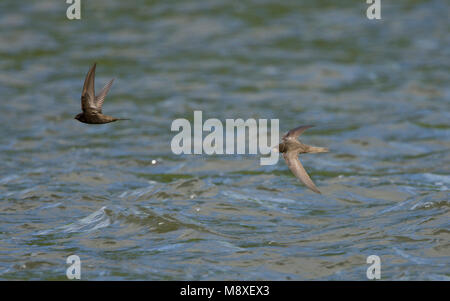 Gierzwaluw in de vlucht boven water; Common Swift in flight over water - Stock Photo