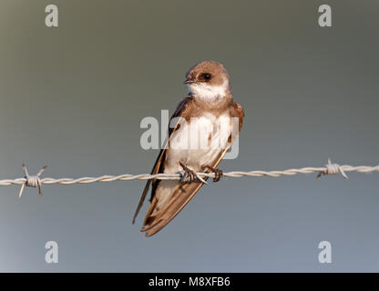 Oeverzwaluw zittend op prikkeldraad, Sand Martin sitting on barbed wire - Stock Photo