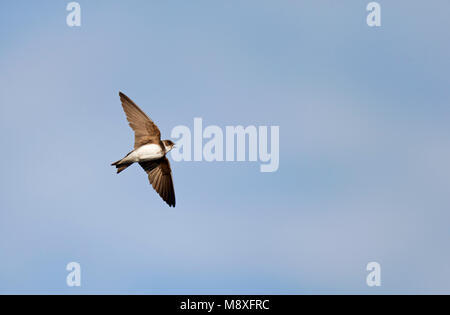 Vliegende fouragerende Oeverzwaluw vangt met open snavel insect uit de lucht; Flying foraging Sand Martin with open bill to catch an insect from the a