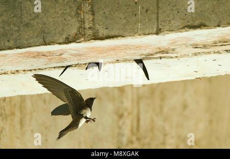Alpengierzwaluw aanvliegend bij nest; Alpine Swift in flight near nest - Stock Photo