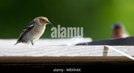 Vrouwtje Vink nestmateriaal aan het verzamelen, Common Chaffinch collecting nest material - Stock Photo