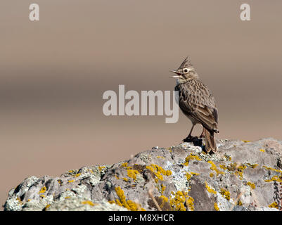 Kuifleeuwerik zingend; Crested Lark singing - Stock Photo