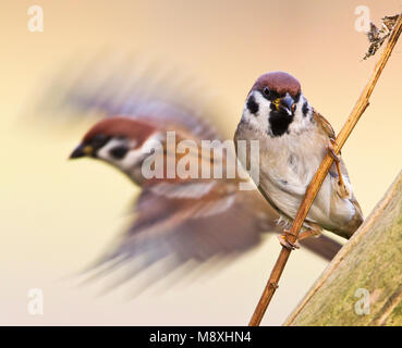 Ringmus op takje en wegvliegend; Eurasian Tree Sparrow perched on a branch and one flying off - Stock Photo