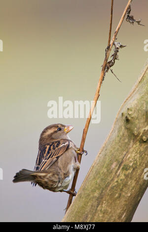 Vrouwtje Huismus zittend op tak; Female House Sparrow perched on branch - Stock Photo