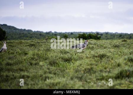 Two secretary birds (Sagittarius serpentarius) on open grassland in Addo Elephant Park, South Africa - Stock Photo