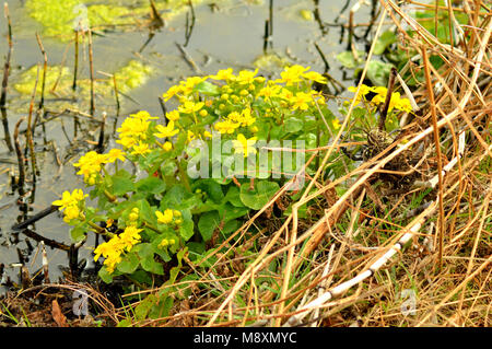 Marsh Marigold (Caltha Palustris) commonly known as King Cup. It is a medium perennial - Stock Photo