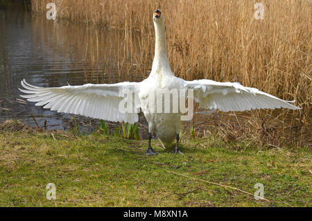 Very cross Mute Swan(Cygnus Olor) waving his wings and charging at the camera - Stock Photo