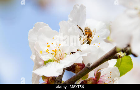 Close-up of bee on almond tree pink-white blossoms. Almond trees in the Island of Cyprus blossom in February. - Stock Photo