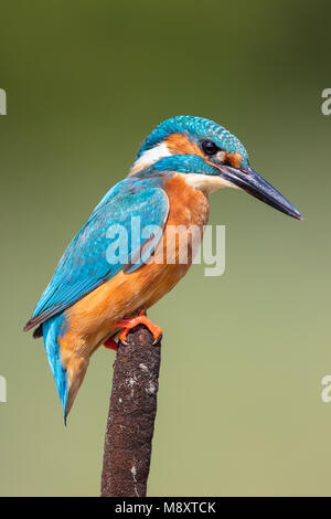Male kingfisher perched on a bull rush - Stock Photo