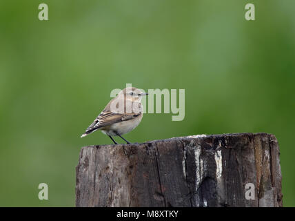 Onvolwassen Tapuit zittend op een paal; Immature Northern Wheatear peched on a pole - Stock Photo