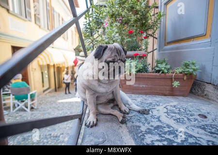 Lonely Pug sitting on the floor - Stock Photo