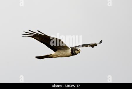 Buffon Kiekendief vliegend; Long-winged Harrier flying - Stock Photo