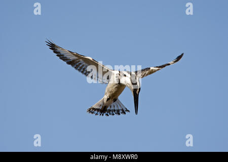 Pied Kingfisher hovering above water; Bonte IJsvogel biddend boven water - Stock Photo