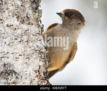Taigagaai zittend; Siberian Jay perched - Stock Photo