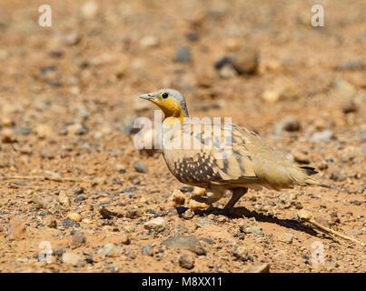 Mannetje Sahelzandhoen, Spotted Sandgrouse male - Stock Photo