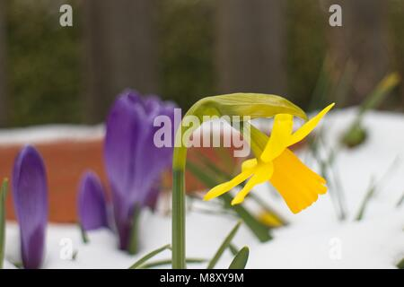 Daffodil and purple crocuses in snow covered plant pot at Tilgate Park Crawley West Sussex UK - Stock Photo