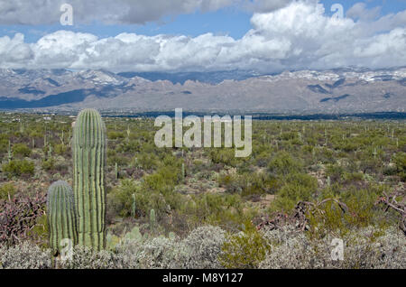 Saguaro cacti stand in front of snow covered mountains in Saguaro National Monument near Tucson, Arizona. - Stock Photo