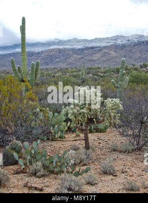 A giant saguaro cactus and a teddy bear cholla stand in front of snow covered mountains in Saguaro National Monument - Stock Photo