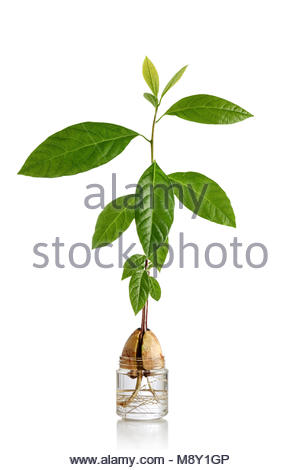Three shoots sprouting from an avocado pit with its roots in a small jar containing water, isolated on a white background. - Stock Photo