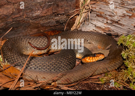 Red-bellied Water Snake (Nerodia erythrogaster) - Stock Photo