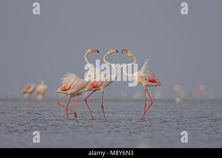 Flamingo in ondiep water; Greater Flamingo in shallow water - Stock Photo